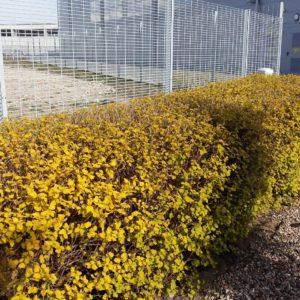 krzewy szybko rosnące na żywopłoty